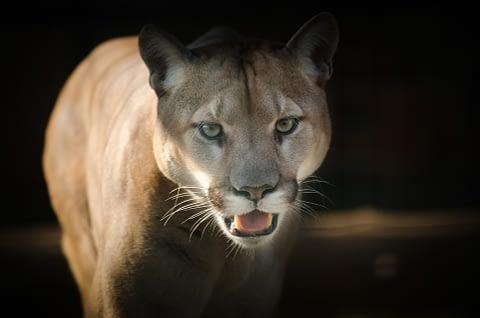 Cougar as spirit animal