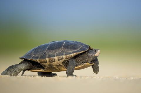 Snapping turtle as spirit animal