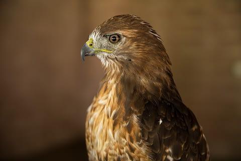 red tail hawk as spirit animal