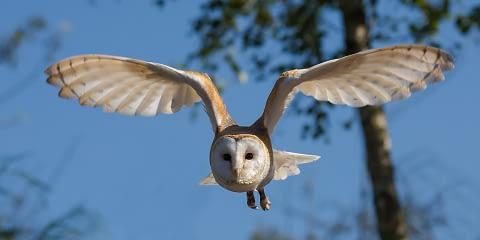 Barn Owl as spirit animal