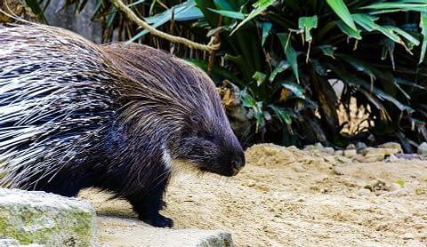 Porcupine as spirit animal