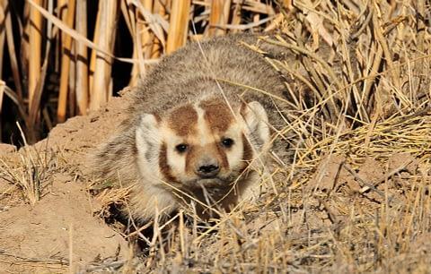Badger as spirit animal