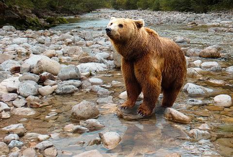 Brown Bear as spirit animal
