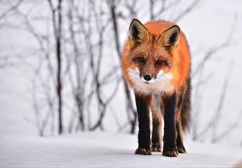 fox as spirit animal